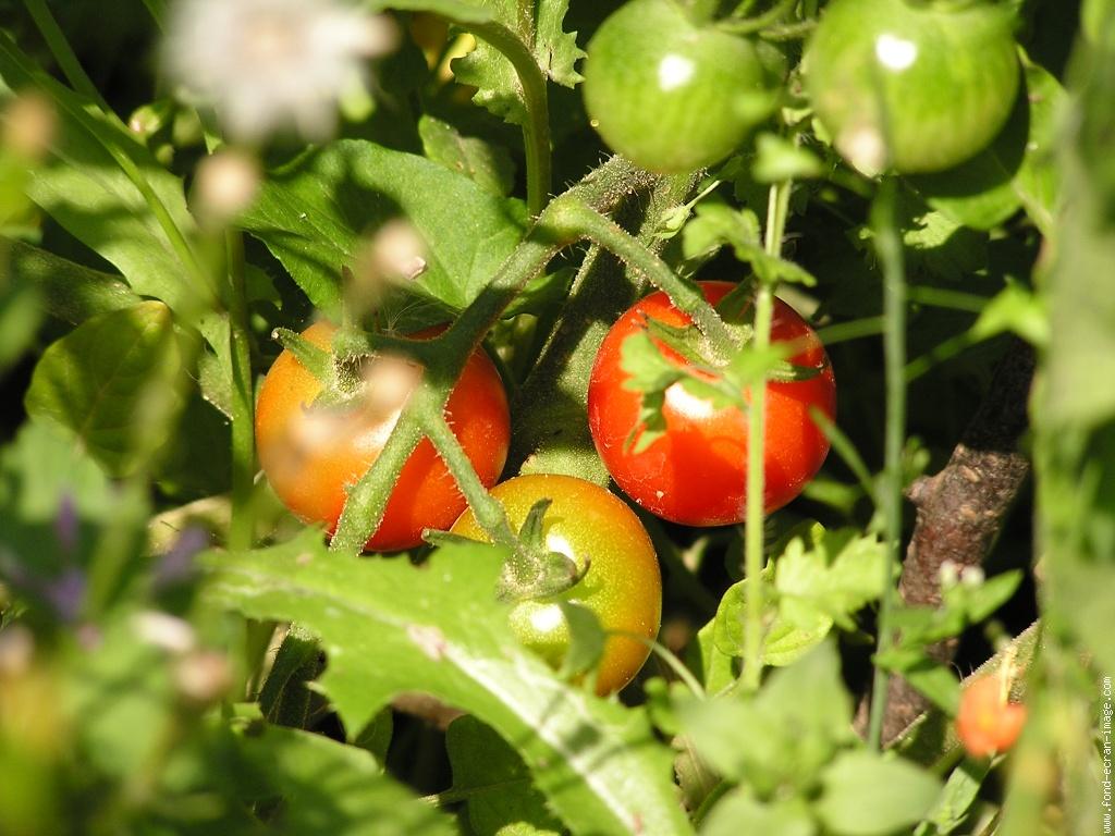 Vrai ou faux 3 le tout savoir - Tomate est un fruit ...